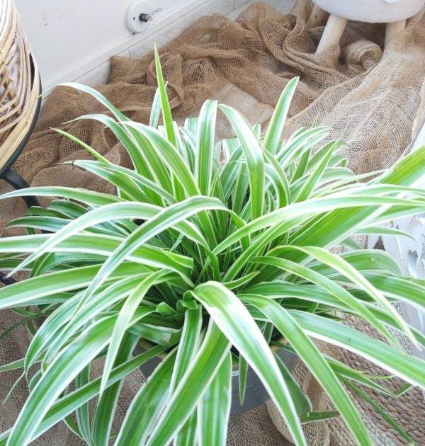 Clorofitum, planta resistente para decorar y purificar los espacios