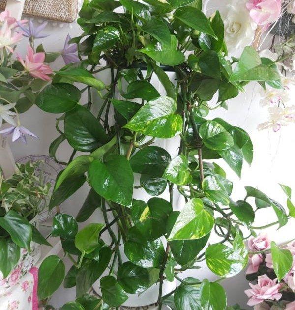 Potos: planta colgante ramas y hojas en cascada para purificar el aire de tu casa