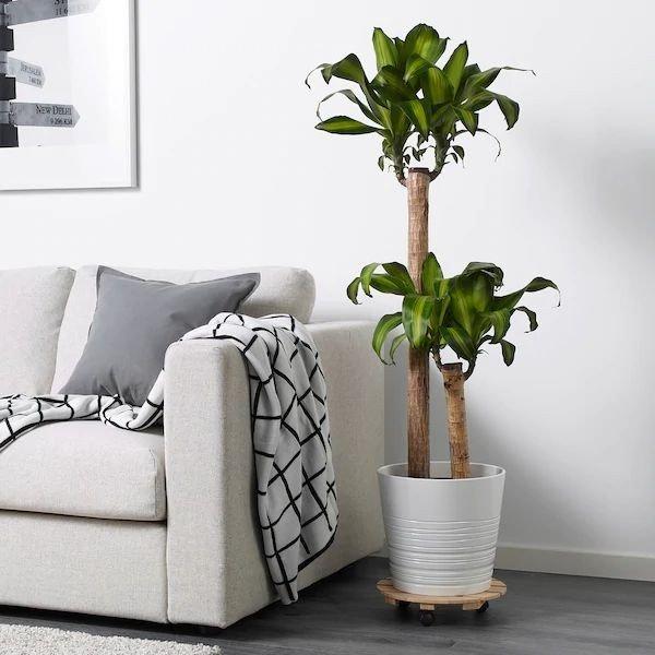 Planta de interior, tronco de brasil, decorando un salón junto a un sofá en tonos blancos