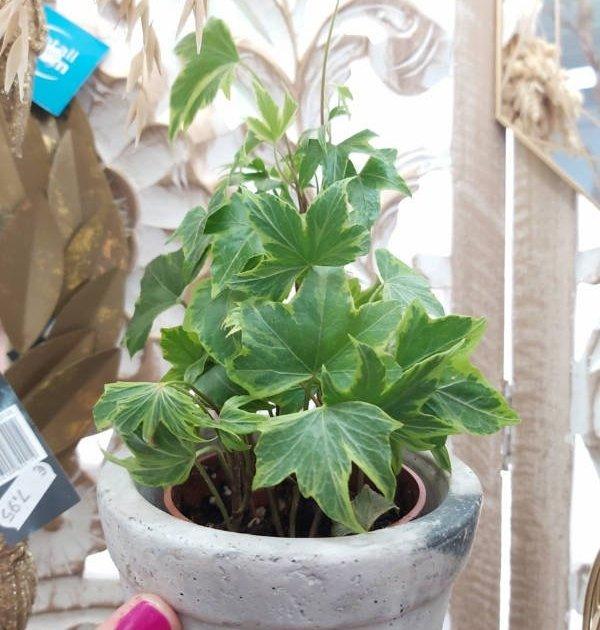 Hiedra, planta purificadora, colgante y muy resistente para el hogar